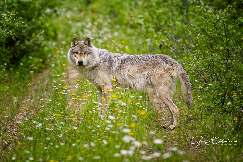 grey_wolf_in_flowers.jpg