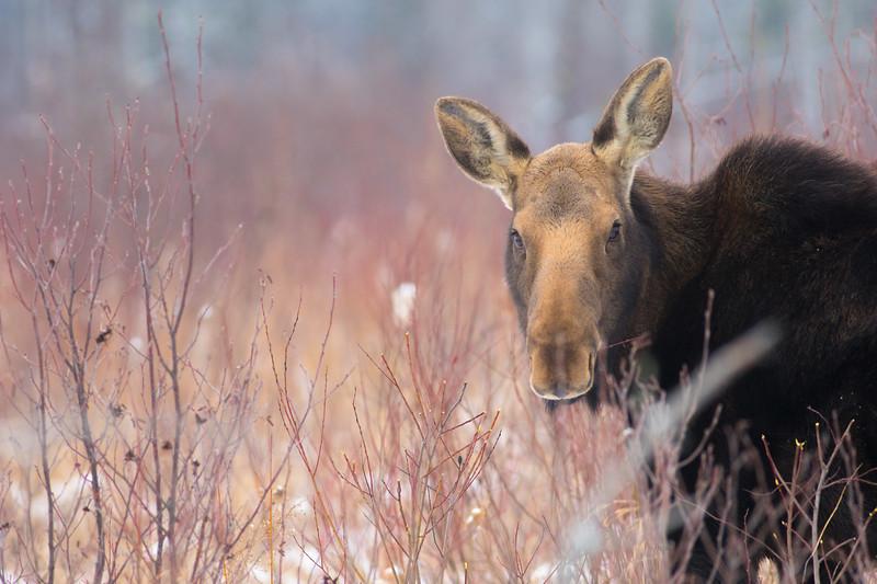 Moose cow yearling in snow Blue Spruce Road Sax-Zim Bog MN DSC02478.jpg