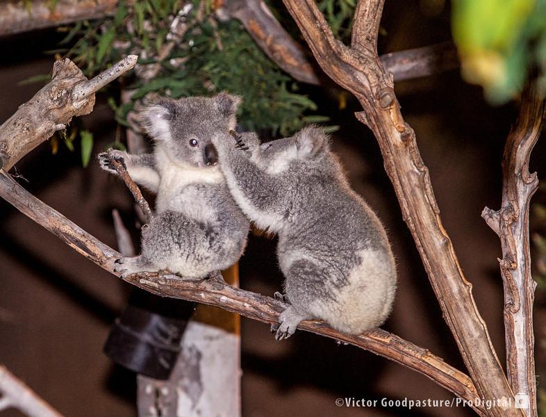 Koalafornia-42.jpg