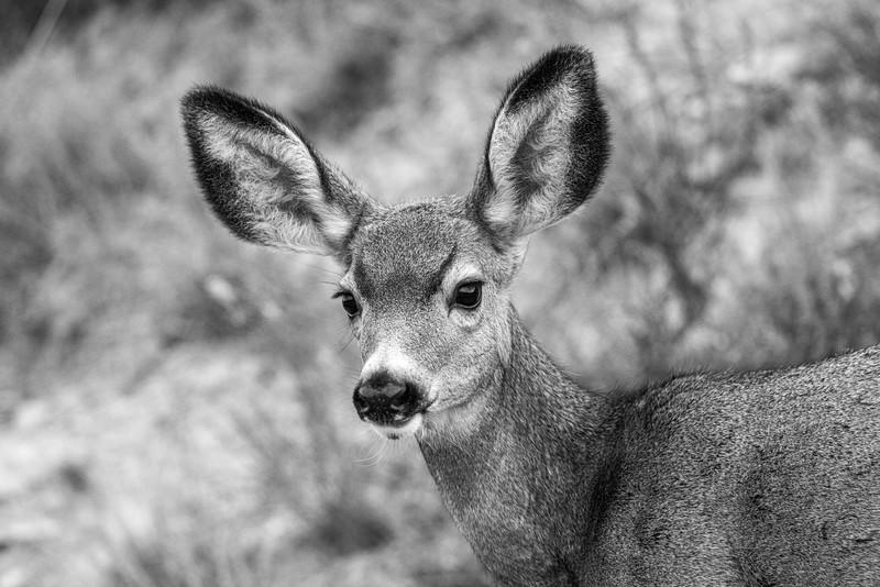 Mule Deer Theodore Teddy Roosevelt National Park Medora ND IMGC0491-2.jpg
