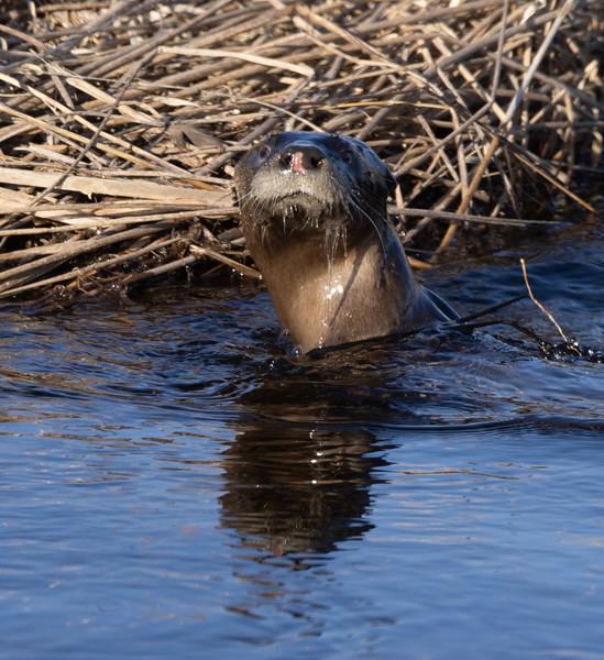 River Otter ditch along Stone Lake Road Sax-Zim Bog MN  IMGC5576.jpg
