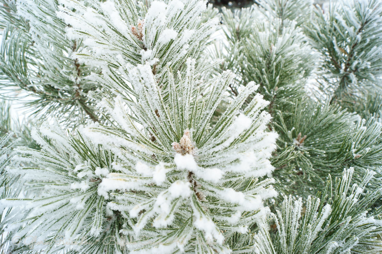 frosted pine needles