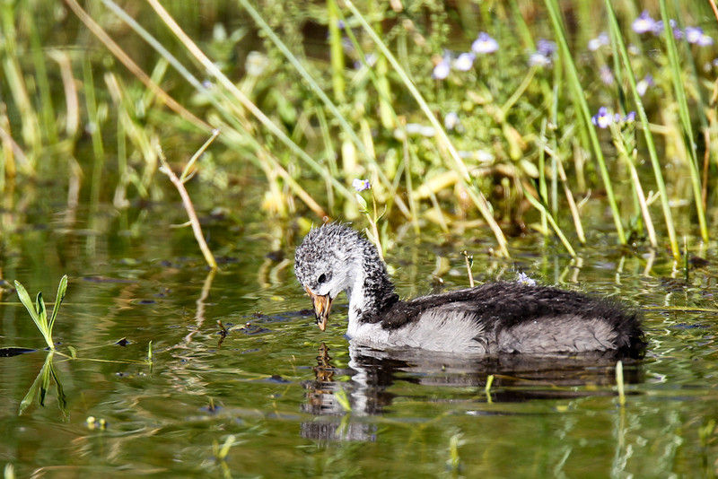 Young American Coot