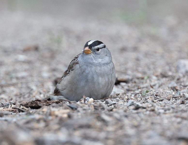 White-crowned Sparrow  (Gambel`s)  Mammoth Lakes 2021 05 16-218.CR3