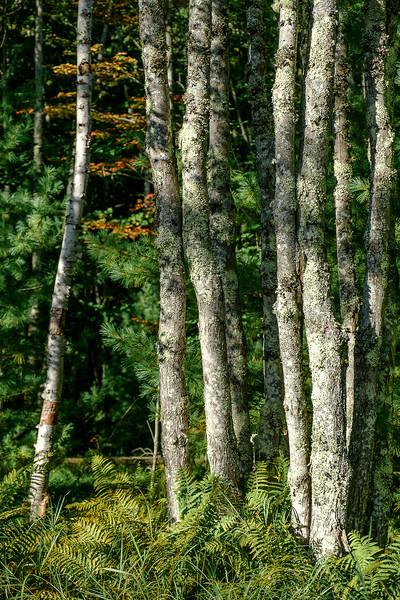 Birch Stand with Autumn Ferns