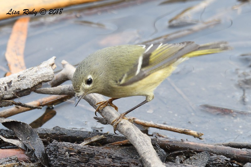 Ruby-crowned Kinglet  - 1/7/2018 - Dos Picos County Park