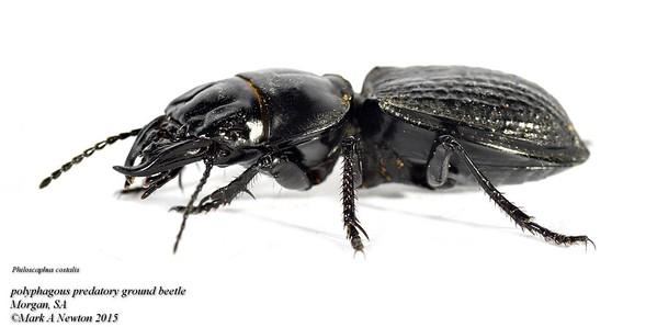 Philoscaphus  costalis (Scaritinae)
