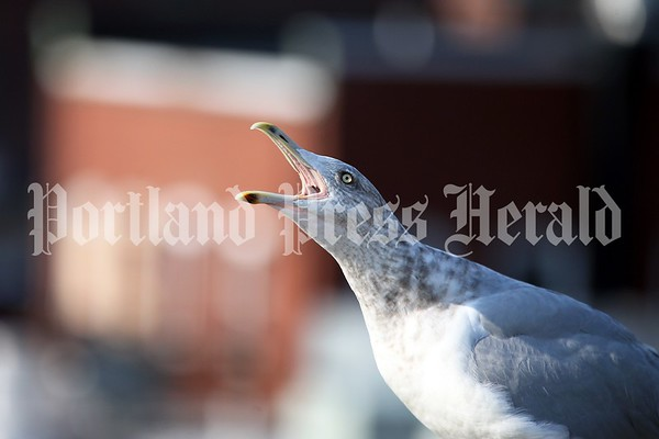 Consider the lowly gull: A photo essay