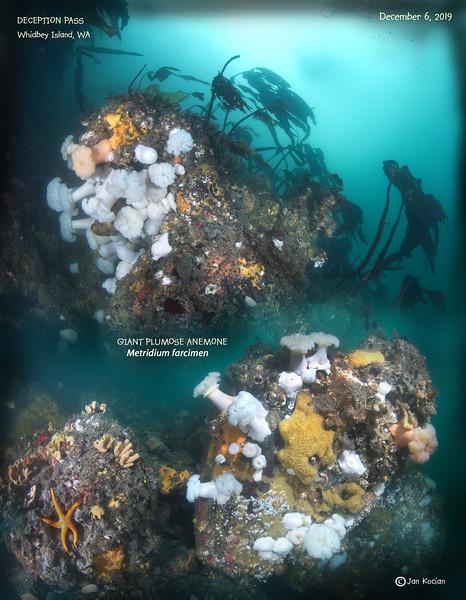 12.6.19 Giant Plumose anemone .jpg