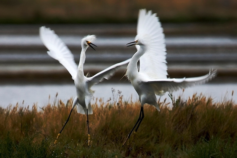 Snowy Egrets - Egretta thula