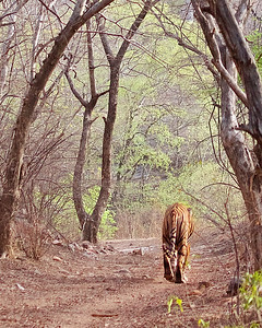 Bengal Tigers, Leopards, Langur Monkeys and Wildlife  of India in Ranthambhore National Park in India