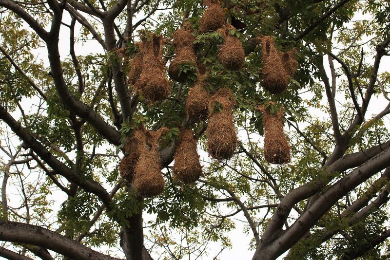 hanging montezuma oropedola bird nests