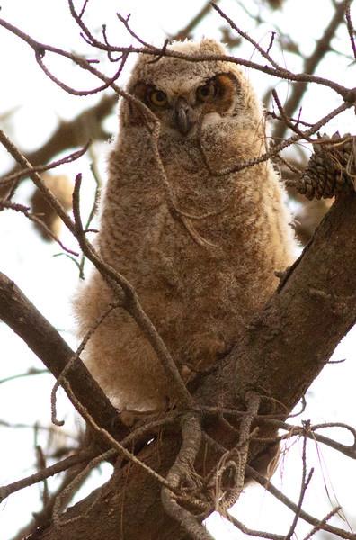 Great-Horned Owl Huntington Beach Central Park 2011 04 05-1231.CR2