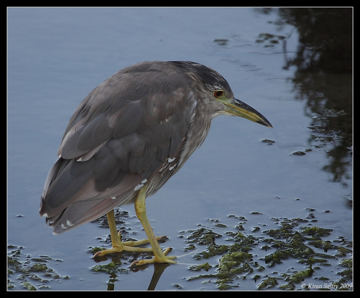 Juvenile Black-crowned Night Heron, Famosa Slough, San Diego County, California, June 2009