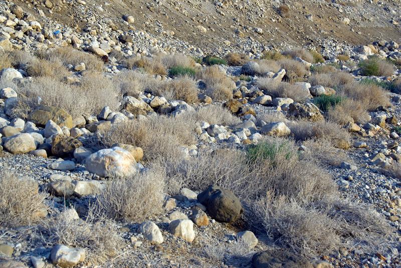 Desert plants near the Dead Sea in Israel