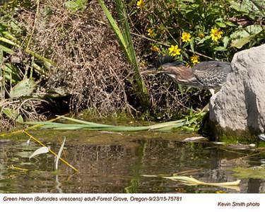 Green Heron A75781.jpg