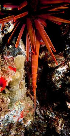 Trumpetfish and Cornetfish (Aulostomidae-Fistulariidae)