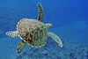 Sea Turtle<br /> Hawaii