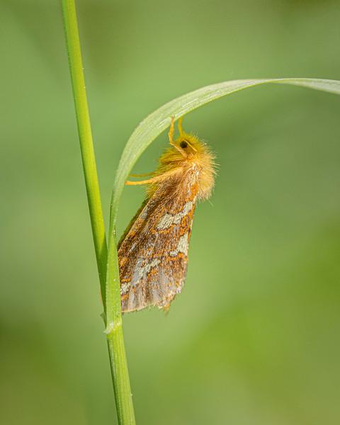 Gold Swift Moth