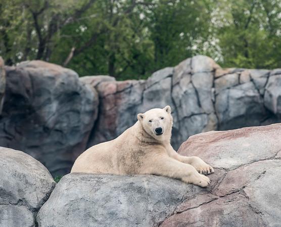 DAVID LIPNOWSKI / WINNIPEG FREE PRESS  Polar Bears at the Assiniboine Park Zoo Sunday May 22, 2016.