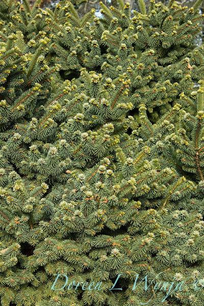 Picea pungens 'Mrs. Cesarini' blue spruce winter color_0603.jpg