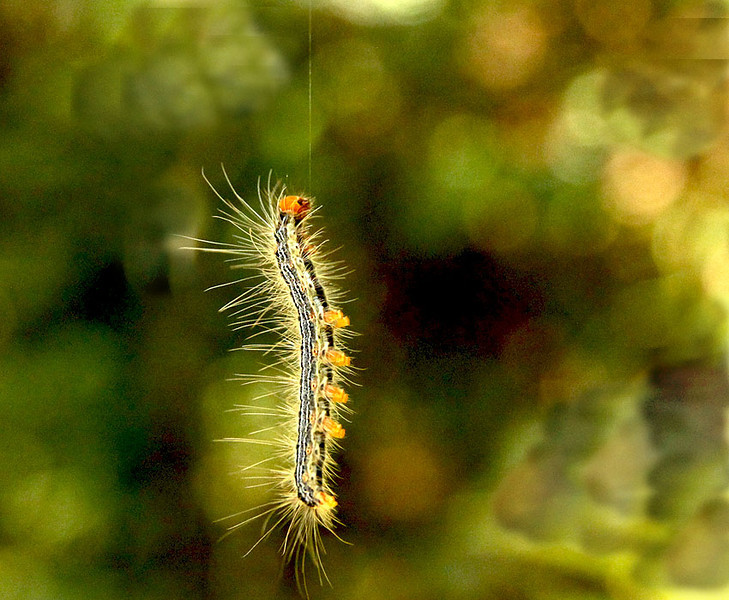 Caterpillar (many climbing down hanging on silky threads from overhead branches)