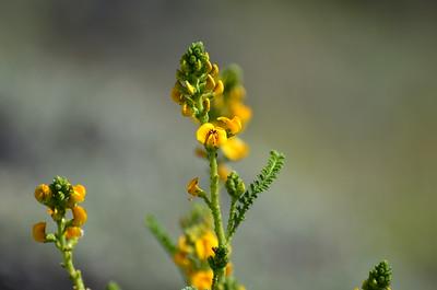Adesmia boronoides