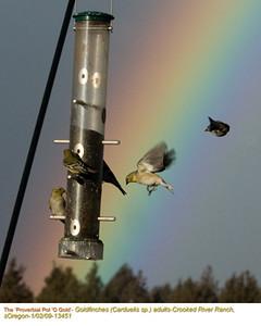 Goldfinches13551.jpg