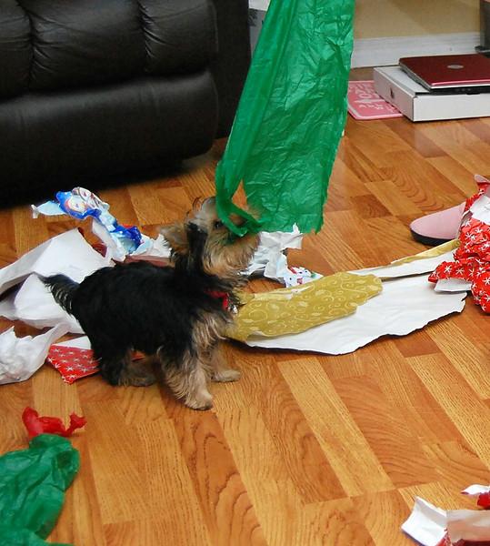 041 Yorkshire Terrier at 5 months.jpg