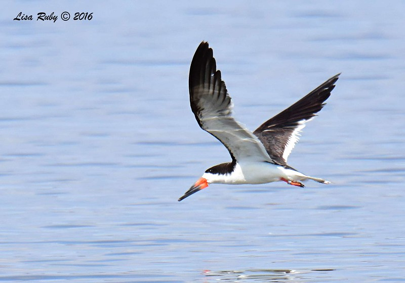 Black Skimmer  - 9/4/2016 - Sweetwater Reservoir