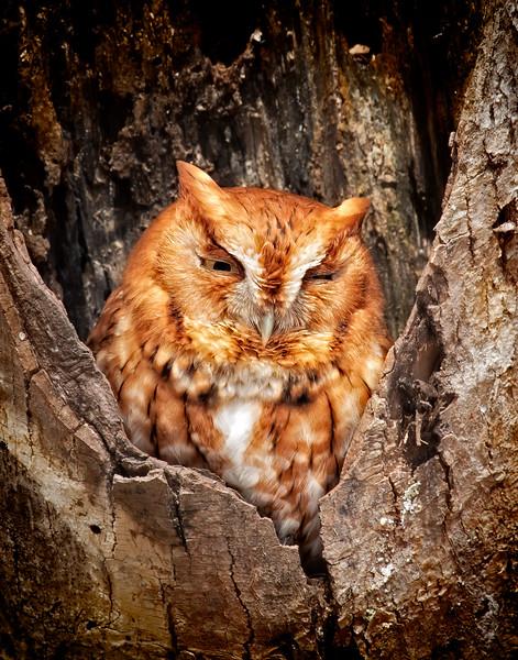 Screech Owl_MG_6386.jpg