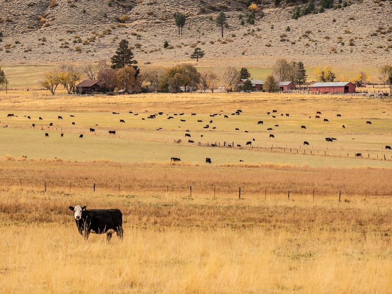 cow P1051187.jpg