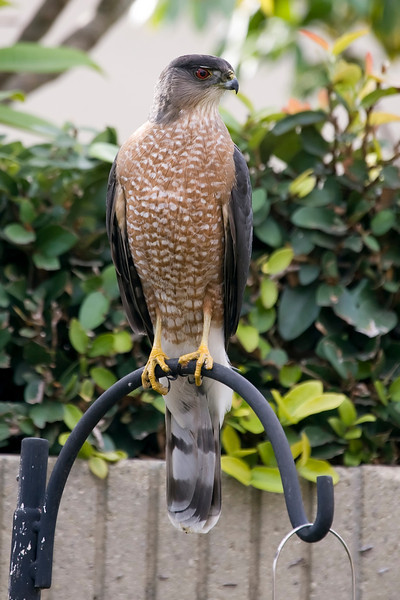 Mike the Cooper's Hawk