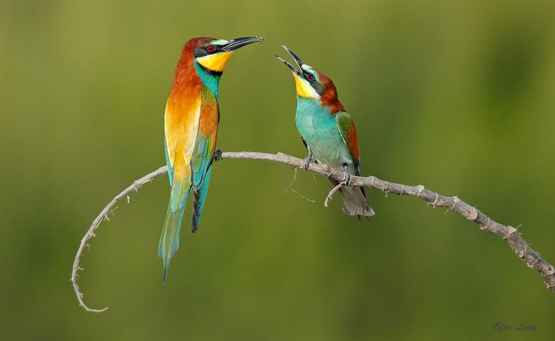 European Bee-eater 1.jpg