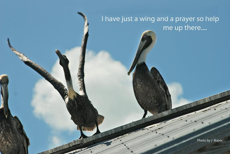 Pelican winging it.jpg