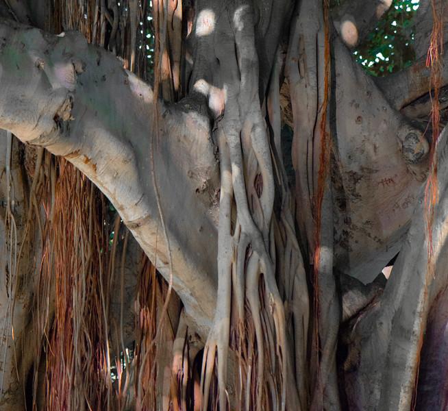 Banyan Tree 34