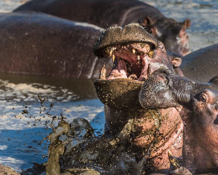 Never piss off a hippo - www.rajguptaphotography.com