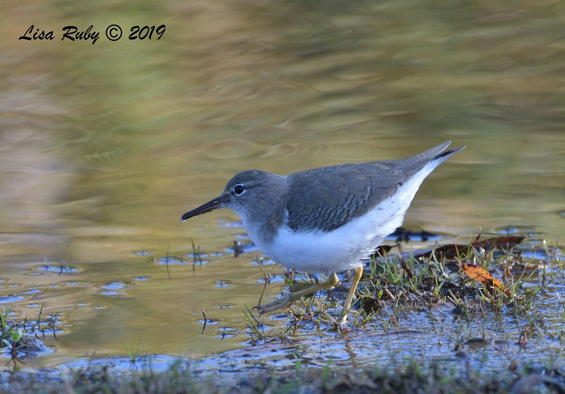 Spotted Sandpiper 12/15/2019 - Lake Wohlford near Ranger Station