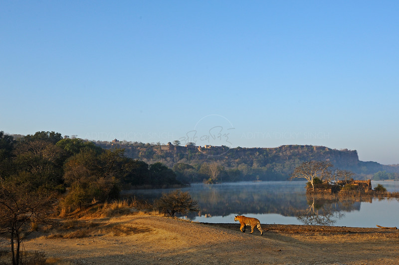Tiger walking along the shore of a lake in Ranthambhore national park in north India, with the fort in the background