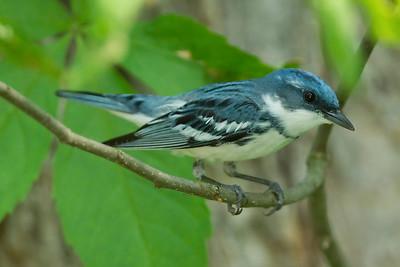 Warbler, Cerulean