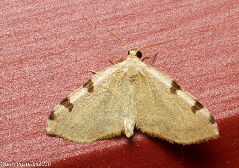 Three-patched Bigwig Moth, Heterophleps refusaria.