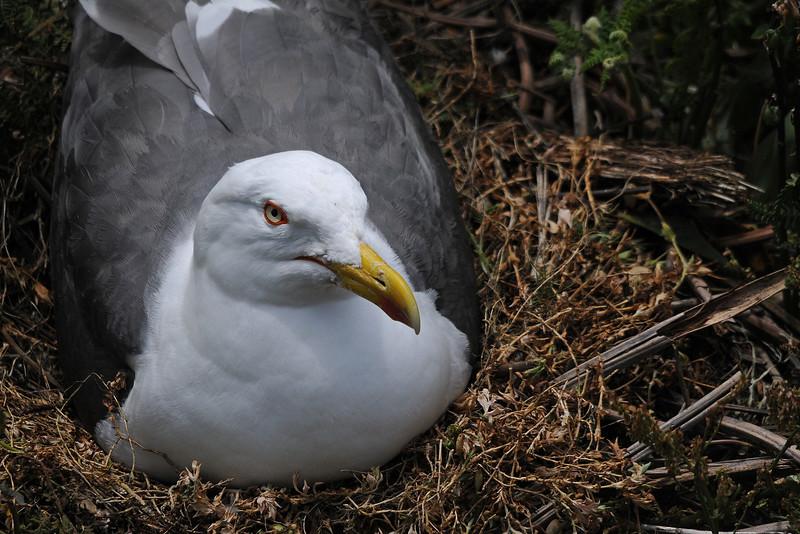 Gull on nest 6 x 4 300 dpi 0293.jpg