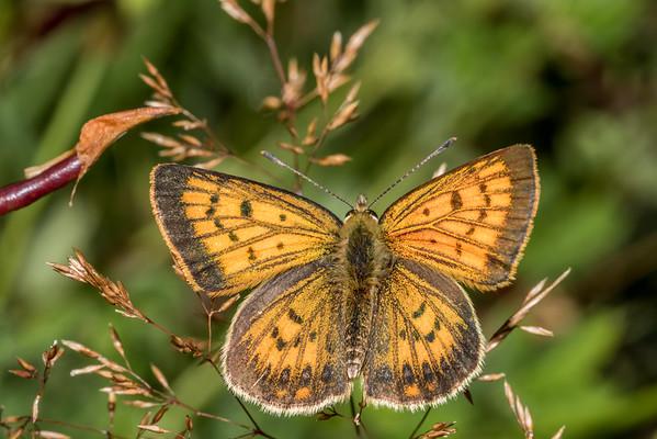 Lycaena salustius - Common copper