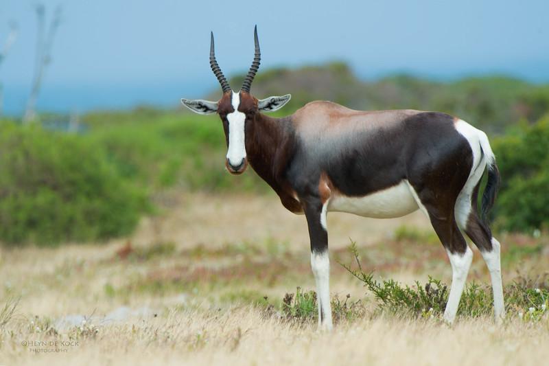 Bontebok, Cape Point NP, SA, Jan 2014-2.jpg