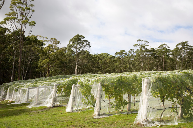 A vineyard on Bruny Island