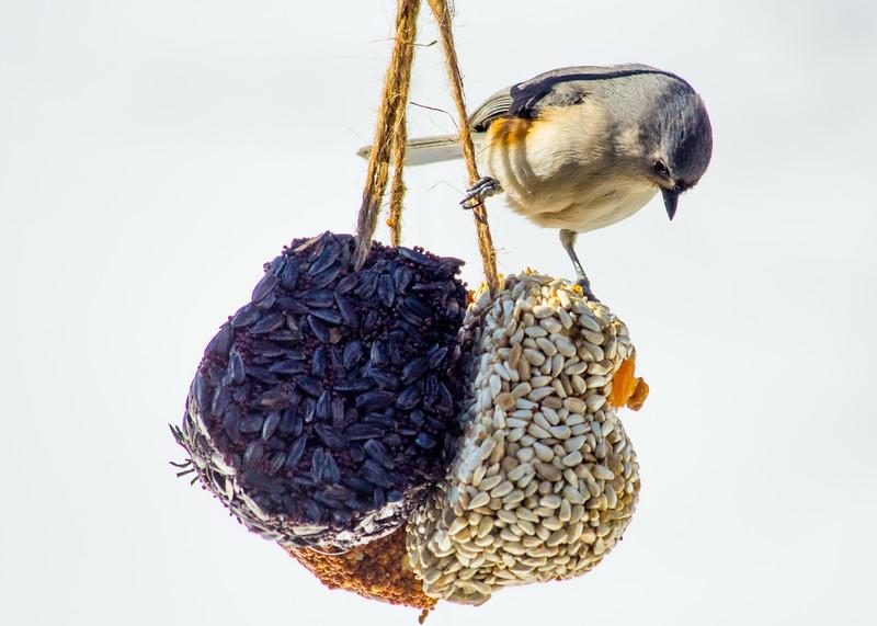 titmouse on seed ball.jpg