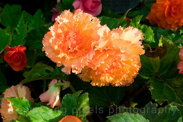"""Flowers""; Buctchart Gardens, near Victoria, B.C.  5727"