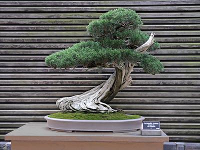California Juniper Bonsai - Huntington Gardens