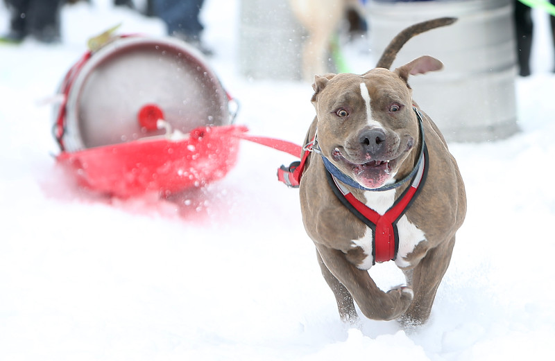 Dozer, an 85-pound pitbull, pulls a 90-pound beer keg during the eleventh running of the Monster Dog Pull at Red Lodge Ales at Sam's Tap Room in Red Lodge, Mont. on Sunday, Feb. 25. 2018. Dozer took first in his weight class as well as the overall fastest run with a time of 3.66 seconds.
