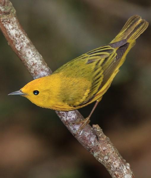 aaHi Island Weds 5-2-2018 234A Yellow Warbler-234.jpg